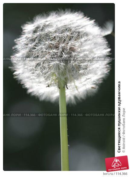 Светящиеся Пушинки Одуванчика, Luminous Feathery Dandelion, фото № 114366, снято 29 мая 2007 г. (c) Astroid / Фотобанк Лори