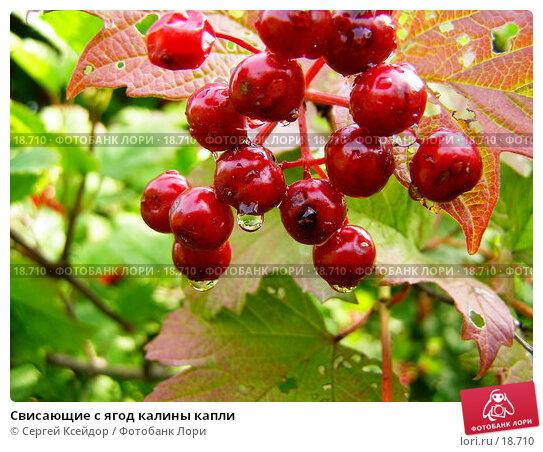 Свисающие с ягод калины капли, фото № 18710, снято 3 сентября 2006 г. (c) Сергей Ксейдор / Фотобанк Лори