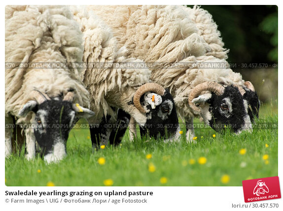 Swaledale yearlings grazing on upland pasture. Стоковое фото, фотограф Farm Images \ UIG / age Fotostock / Фотобанк Лори