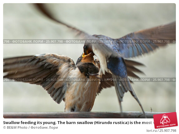 Купить «Swallow feeding its young. The barn swallow (Hirundo rustica) is the most widespread species of swallow in the world.», фото № 25907798, снято 20 апреля 2019 г. (c) BE&W Photo / Фотобанк Лори