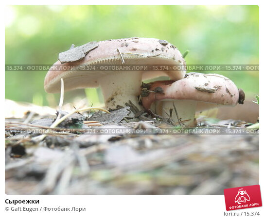 Сыроежки, фото № 15374, снято 29 июля 2006 г. (c) Gaft Eugen / Фотобанк Лори
