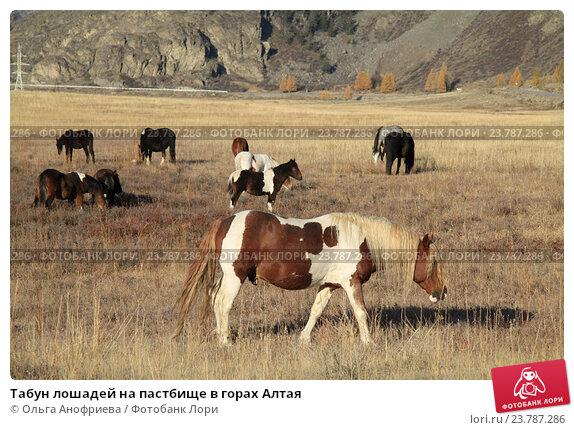Купить «Табун лошадей на пастбище в горах Алтая», фото № 23787286, снято 6 октября 2016 г. (c) Olivas / Фотобанк Лори