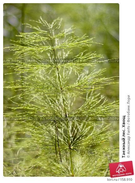 Таежный лес. Хвощ, фото № 158910, снято 22 августа 2017 г. (c) Александр Fanfo / Фотобанк Лори