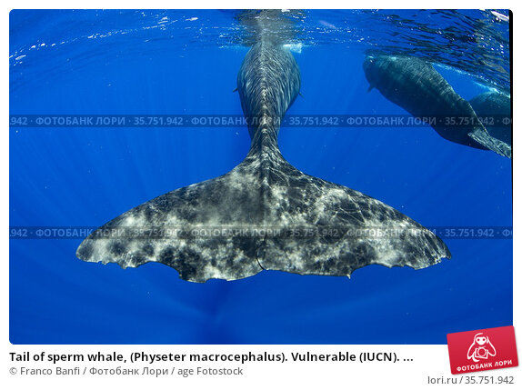 Tail of sperm whale, (Physeter macrocephalus). Vulnerable (IUCN). ... Стоковое фото, фотограф Franco Banfi / age Fotostock / Фотобанк Лори