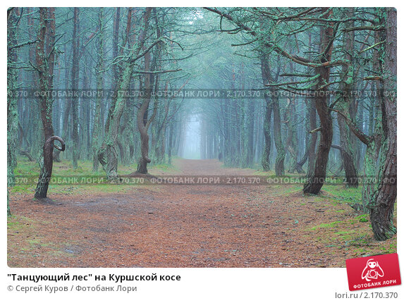 """Купить «""""Танцующий лес"""" на Куршской косе», фото № 2170370, снято 20 мая 2010 г. (c) Сергей Куров / Фотобанк Лори"""