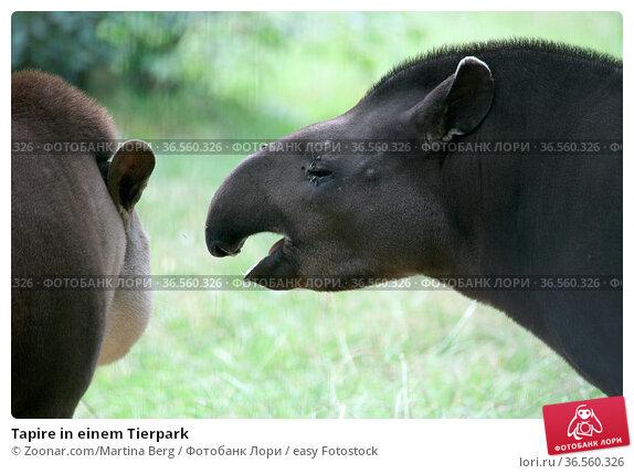 Tapire in einem Tierpark. Стоковое фото, фотограф Zoonar.com/Martina Berg / easy Fotostock / Фотобанк Лори