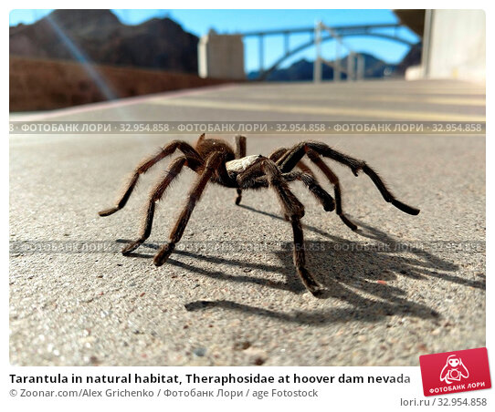 Tarantula in natural habitat, Theraphosidae at hoover dam nevada. Стоковое фото, фотограф Zoonar.com/Alex Grichenko / age Fotostock / Фотобанк Лори