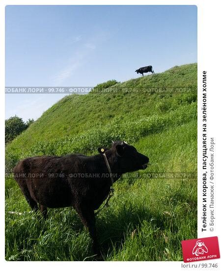 Телёнок и корова, пасущаяся на зелёном холме, фото № 99746, снято 22 мая 2005 г. (c) Борис Панасюк / Фотобанк Лори