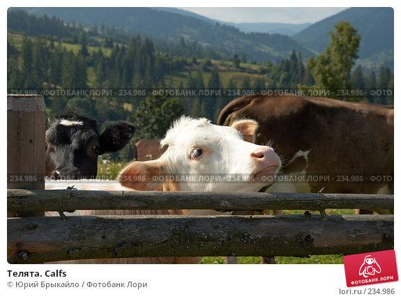 Телята. Calfs, фото № 234986, снято 2 сентября 2007 г. (c) Юрий Брыкайло / Фотобанк Лори