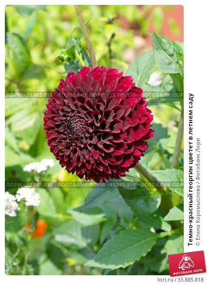 Темно-красный георгин цветет в летнем саду. Стоковое фото, фотограф Елена Коромыслова / Фотобанк Лори