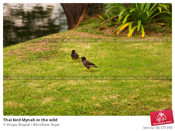 Купить «Thai bird Mynah in the wild», фото № 30177910, снято 3 декабря 2016 г. (c) Игорь Жоров / Фотобанк Лори