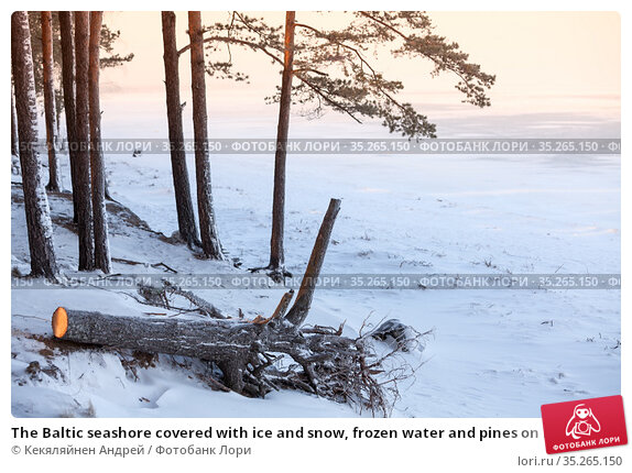 The Baltic seashore covered with ice and snow, frozen water and pines on beach of the Gulf of Finland, the Sosnovy Bor, north-west Russia. Стоковое фото, фотограф Кекяляйнен Андрей / Фотобанк Лори