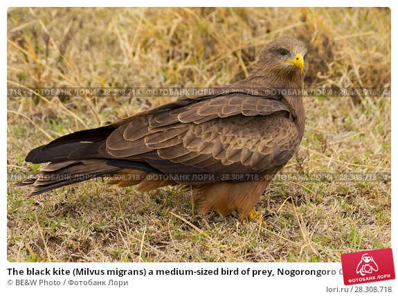 Купить «The black kite (Milvus migrans) a medium-sized bird of prey, Nogorongoro Crater Tanzania», фото № 28308718, снято 21 февраля 2019 г. (c) BE&W Photo / Фотобанк Лори