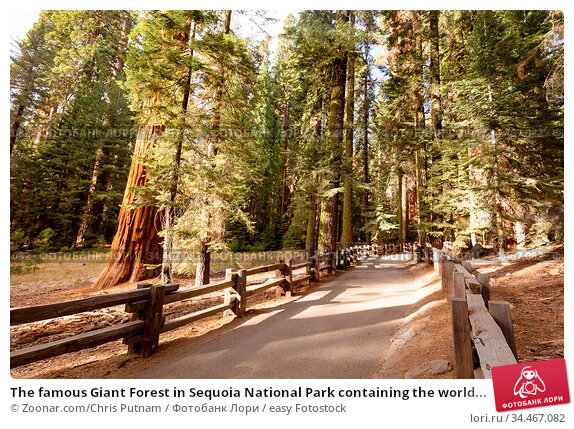 The famous Giant Forest in Sequoia National Park containing the world... Стоковое фото, фотограф Zoonar.com/Chris Putnam / easy Fotostock / Фотобанк Лори