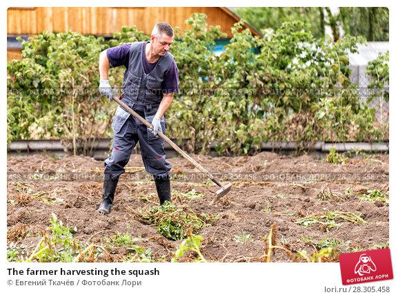 Купить «The farmer harvesting the squash», фото № 28305458, снято 28 августа 2016 г. (c) Евгений Ткачёв / Фотобанк Лори