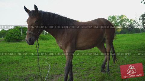 Купить «The horse grazes on the lawn», видеоролик № 26812014, снято 8 июля 2017 г. (c) Kozub Vasyl / Фотобанк Лори