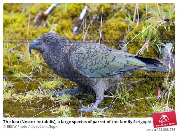 Купить «The kea (Nestor notabilis), a large species of parrot of the family Strigopidae found in forested and alpine regions of the South Island of New Zealand», фото № 28308786, снято 20 марта 2019 г. (c) BE&W Photo / Фотобанк Лори