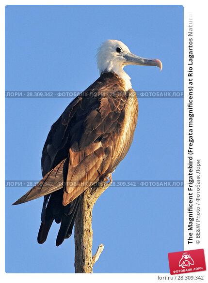 Купить «The Magnificent Frigatebird (Fregata magnificens) at Rio Lagartos Natural Park, Yucatan, Mexico», фото № 28309342, снято 16 декабря 2018 г. (c) BE&W Photo / Фотобанк Лори