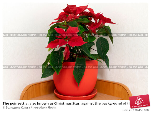The poinsettia, also known as Christmas Star, against the background of the wall in room. Стоковое фото, фотограф Володина Ольга / Фотобанк Лори