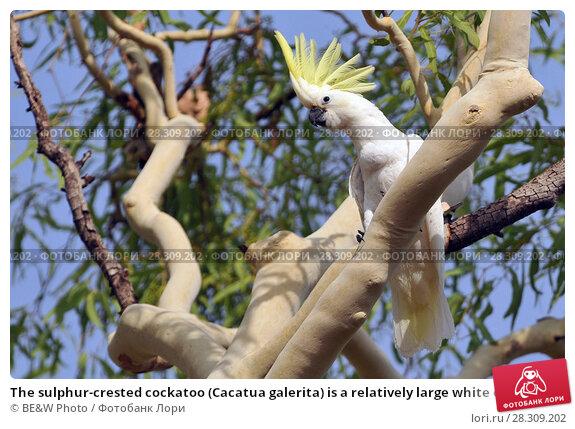 Купить «The sulphur-crested cockatoo (Cacatua galerita) is a relatively large white cockatoo found in wooded habitats in Australia and New Guinea and some of the islands of Indonesia. Kakadu National Park Australia.», фото № 28309202, снято 15 февраля 2019 г. (c) BE&W Photo / Фотобанк Лори