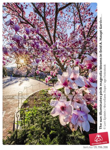 The sun illuminates pinik magnolia blooms in Enid A. Haupt Garden... Стоковое фото, фотограф Lori Epstein / age Fotostock / Фотобанк Лори
