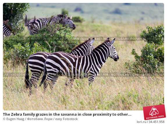 The Zebra family grazes in the savanna in close proximity to other... Стоковое фото, фотограф Eugen Haag / easy Fotostock / Фотобанк Лори