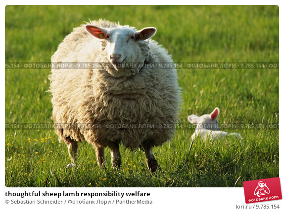 Купить «thoughtful sheep lamb responsibility welfare», фото № 9785154, снято 20 апреля 2019 г. (c) PantherMedia / Фотобанк Лори