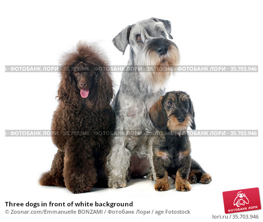 Three dogs in front of white background. Стоковое фото, фотограф Zoonar.com/Emmanuelle BONZAMI / age Fotostock / Фотобанк Лори