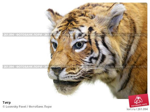 Тигр, фото № 261094, снято 10 декабря 2016 г. (c) Losevsky Pavel / Фотобанк Лори