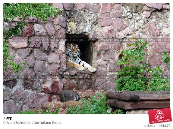 Купить «Тигр», фото № 1494670, снято 30 мая 2006 г. (c) Акоп Васильян / Фотобанк Лори