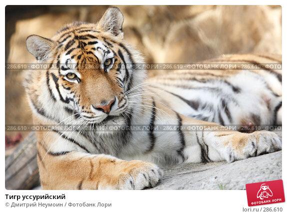 Тигр уссурийский, эксклюзивное фото № 286610, снято 26 апреля 2008 г. (c) Дмитрий Неумоин / Фотобанк Лори