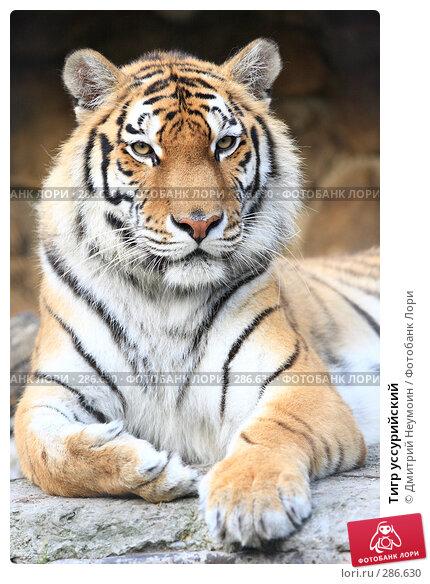 Купить «Тигр уссурийский», эксклюзивное фото № 286630, снято 26 апреля 2008 г. (c) Дмитрий Неумоин / Фотобанк Лори