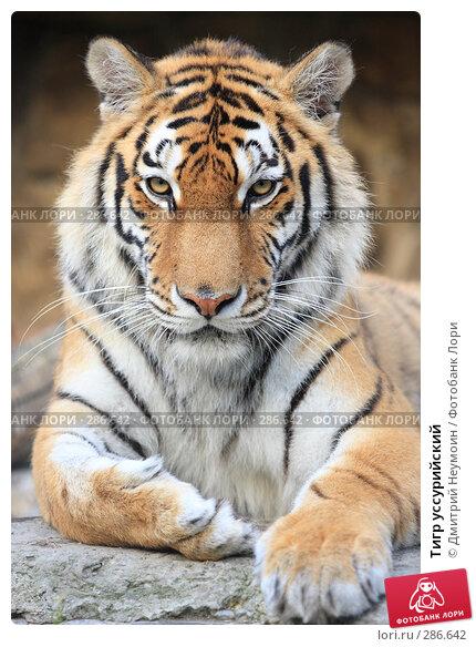 Тигр уссурийский, эксклюзивное фото № 286642, снято 26 апреля 2008 г. (c) Дмитрий Неумоин / Фотобанк Лори
