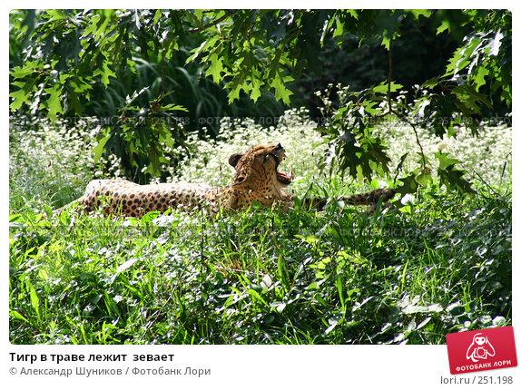 Тигр в траве лежит  зевает, фото № 251198, снято 18 августа 2007 г. (c) Александр Шуников / Фотобанк Лори