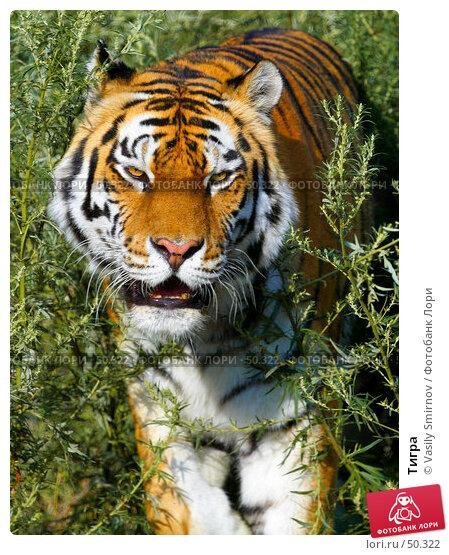 Тигра, фото № 50322, снято 27 июля 2002 г. (c) Vasily Smirnov / Фотобанк Лори
