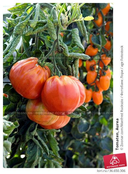 Tomaten, Aurea. Стоковое фото, фотограф Zoonar.com/Manfred Ruckszio / age Fotostock / Фотобанк Лори