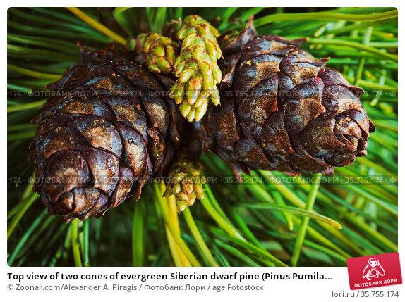Top view of two cones of evergreen Siberian dwarf pine (Pinus Pumila... Стоковое фото, фотограф Zoonar.com/Alexander A. Piragis / age Fotostock / Фотобанк Лори