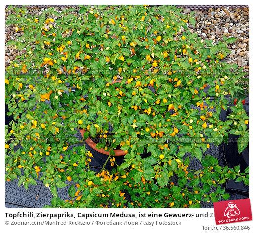 Topfchili, Zierpaprika, Capsicum Medusa, ist eine Gewuerz- und Zierpflanze... Стоковое фото, фотограф Zoonar.com/Manfred Ruckszio / easy Fotostock / Фотобанк Лори