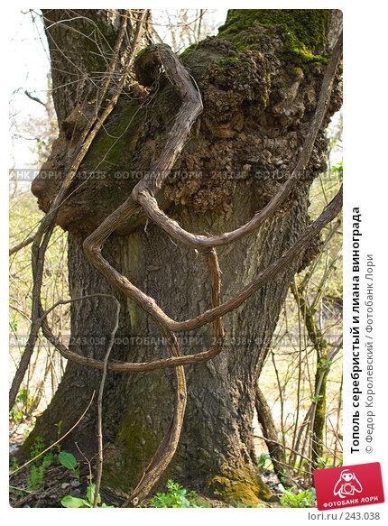 Тополь серебристый и лиана винограда, фото № 243038, снято 4 апреля 2008 г. (c) Федор Королевский / Фотобанк Лори