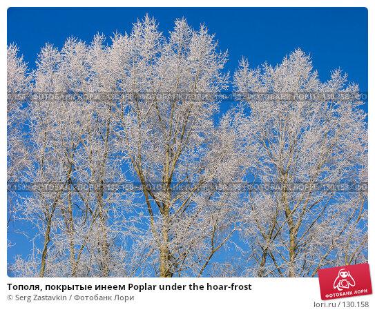 Тополя, покрытые инеем Poplar under the hoar-frost, фото № 130158, снято 18 декабря 2005 г. (c) Serg Zastavkin / Фотобанк Лори