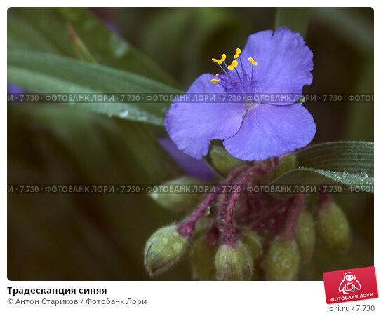 Традесканция синяя, фото № 7730, снято 22 июня 2006 г. (c) Антон Стариков / Фотобанк Лори