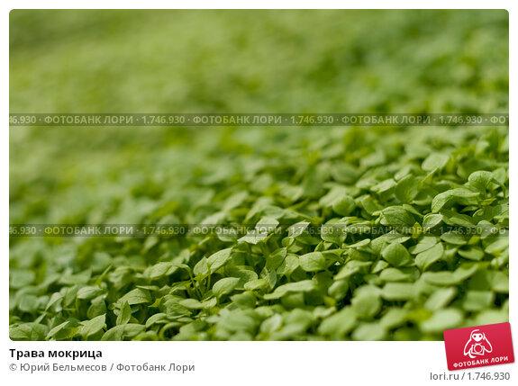 Трава мокрица, фото № 1746930, снято 26 апреля 2010 г. (c) Юрий Бельмесов / Фотобанк Лори