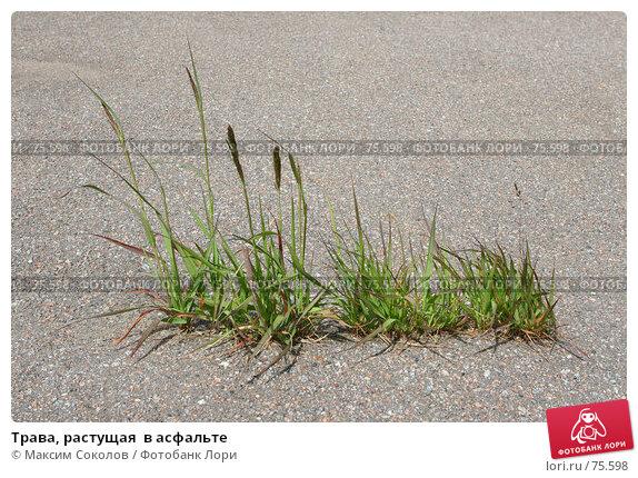 Трава, растущая  в асфальте, фото № 75598, снято 11 июня 2007 г. (c) Максим Соколов / Фотобанк Лори
