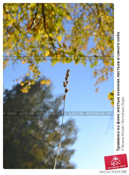Травинка на фоне жёлтых осенних листьев и синего неба. Стоковое фото, фотограф Божок Юлия / Фотобанк Лори