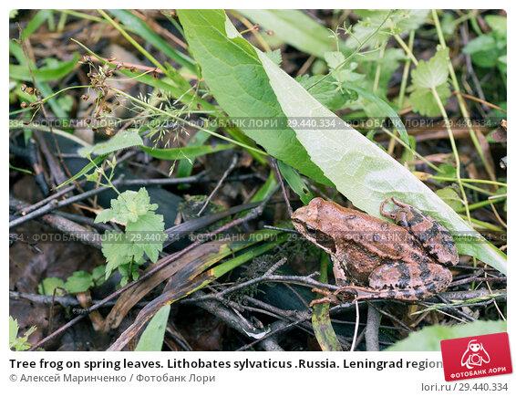 Купить «Tree frog on spring leaves. Lithobates sylvaticus .Russia. Leningrad region.», фото № 29440334, снято 3 июля 2018 г. (c) Алексей Маринченко / Фотобанк Лори