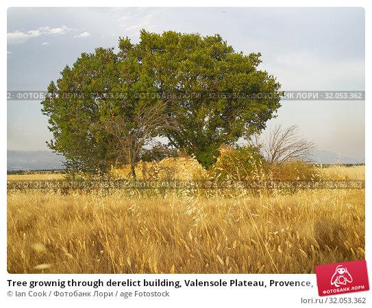 Tree grownig through derelict building, Valensole Plateau, Provence, France. Стоковое фото, фотограф Ian Cook / age Fotostock / Фотобанк Лори