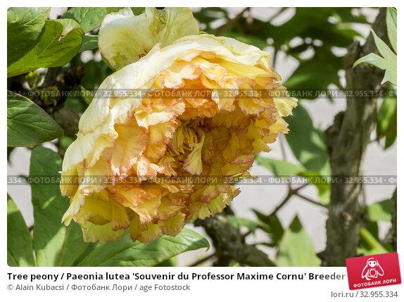 Tree peony / Paeonia lutea 'Souvenir du Professor Maxime Cornu' Breeder : Henry 1907. Стоковое фото, фотограф Alain Kubacsi / age Fotostock / Фотобанк Лори