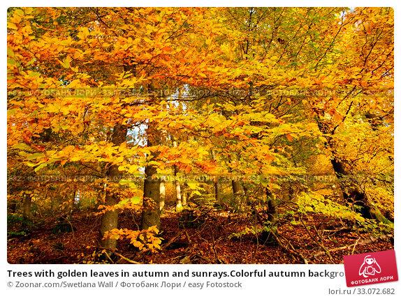 Купить «Trees with golden leaves in autumn and sunrays.Colorful autumn background.», фото № 33072682, снято 29 марта 2020 г. (c) easy Fotostock / Фотобанк Лори