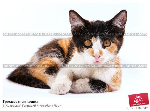 Трехцветная кошка, фото № 305342, снято 24 января 2017 г. (c) Кравецкий Геннадий / Фотобанк Лори