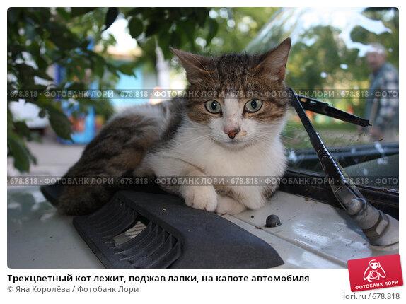 Купить «Трехцветный кот лежит, поджав лапки, на капоте автомобиля», эксклюзивное фото № 678818, снято 12 июля 2008 г. (c) Яна Королёва / Фотобанк Лори